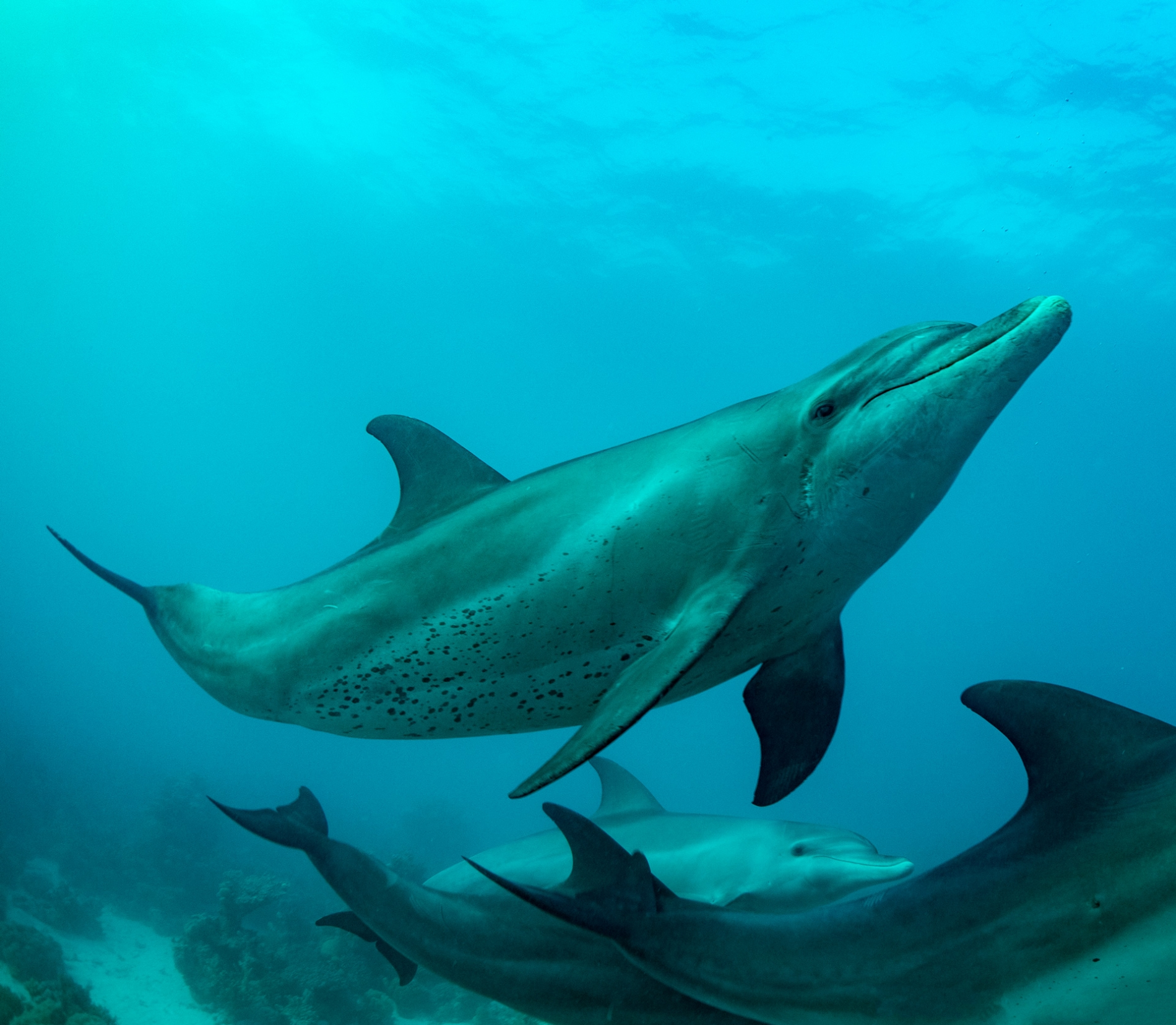 dolphins-in-red-sea