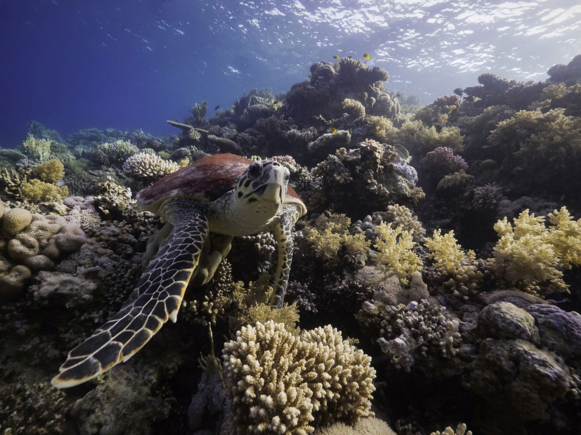 Turtle-on-reef