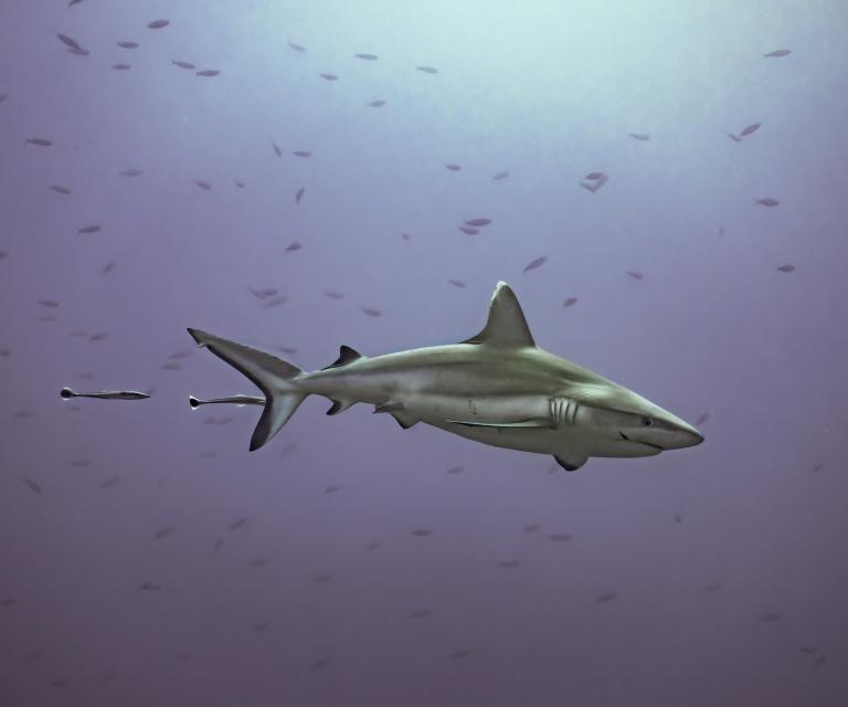 Grey-reef-shark