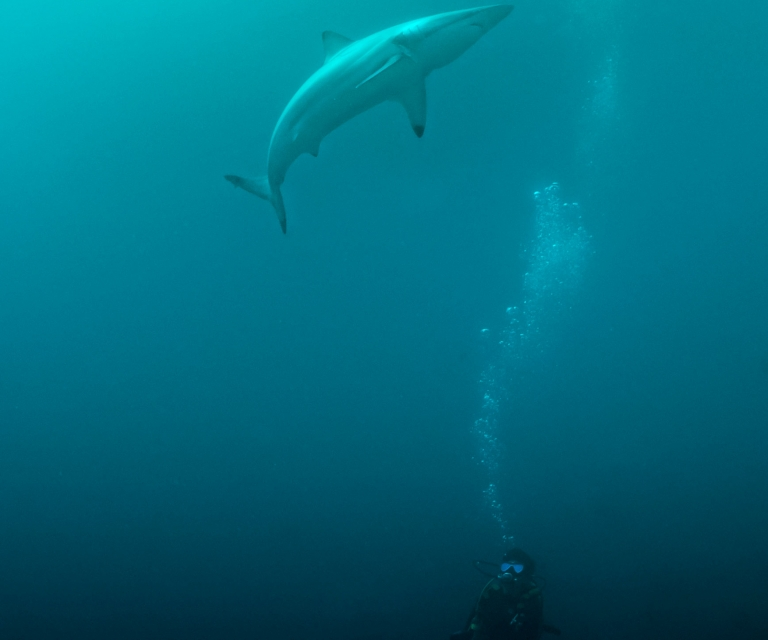 Shark-Pai-