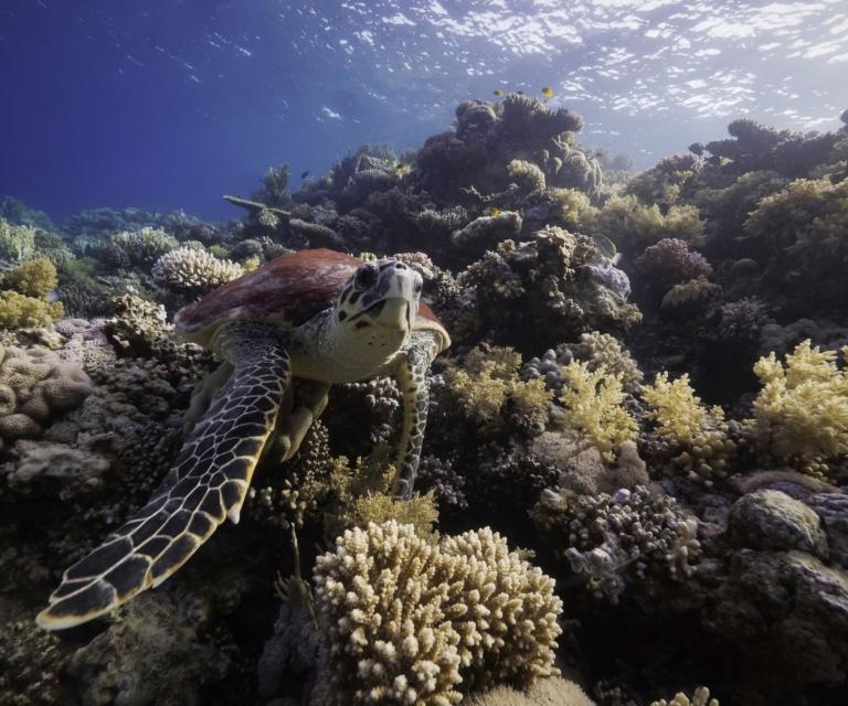 Turtle-on-reef